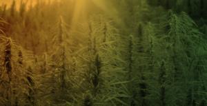 mercado global da Cannabis medicinal