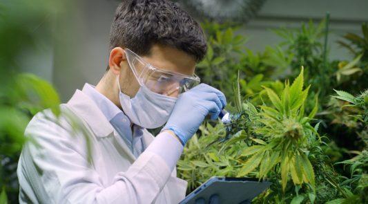 flavonoides da cannabis